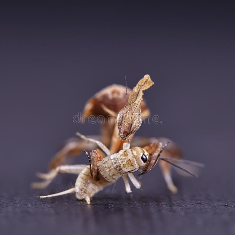 Ghost mantis Phyllocrania paradoxa - African predatory insect. Macro royalty free stock photo