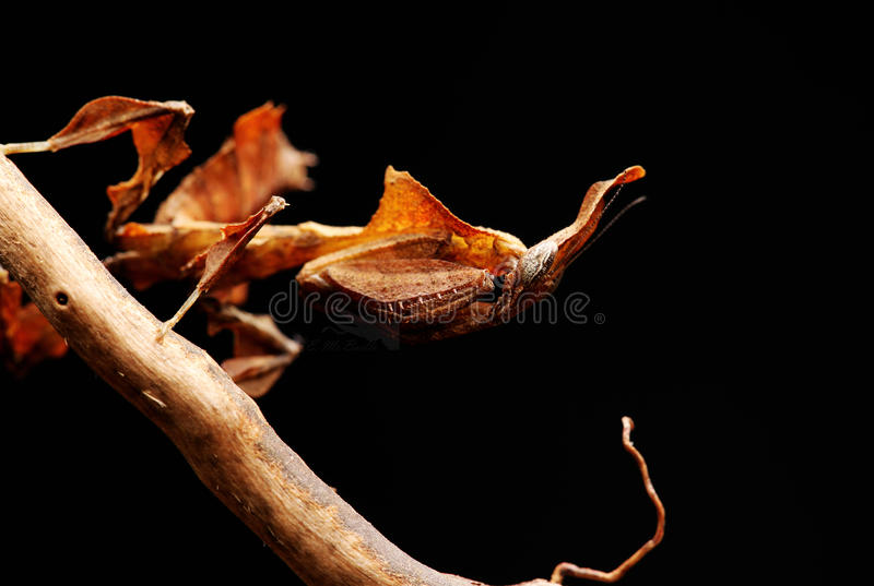 Ghost mantis royalty free stock photography