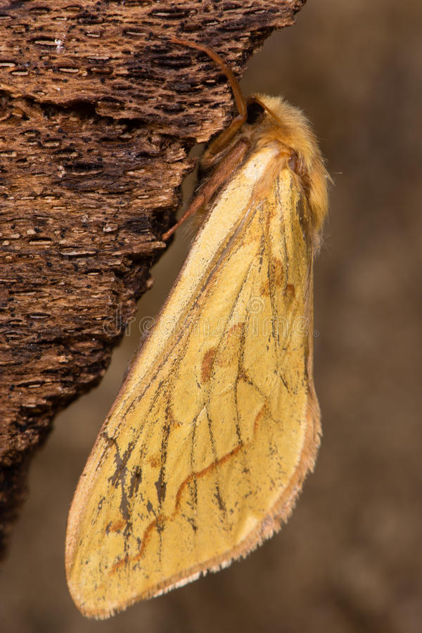 Ghost moth (Hepialus humuli) female royalty free stock photo