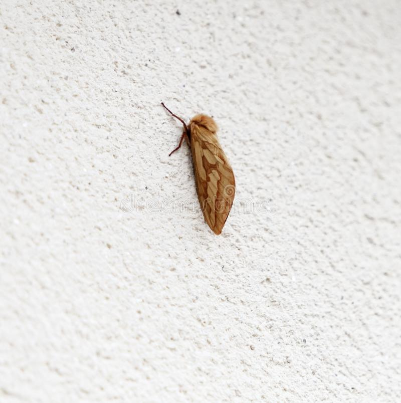 Ghost Moth. An image of the Ghost Moth, Hepialus humuli, also know as the Ghost Swift, at rest on a white wall during the day. Lancashire, England stock image