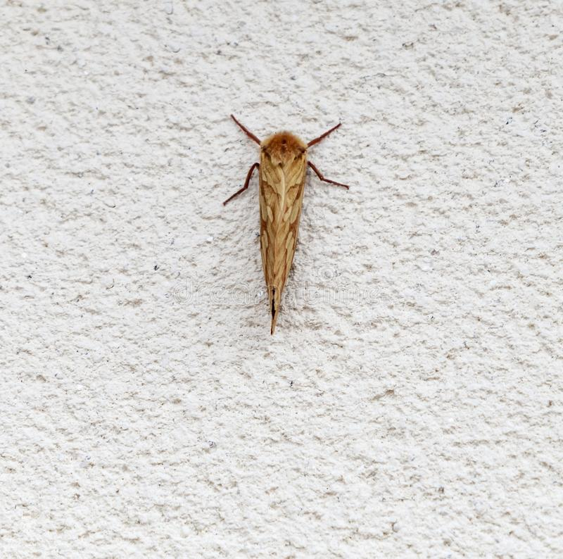 Ghost Moth. An image of the Ghost Moth, Hepialus humuli, also know as the Ghost Swift, at rest on a white wall during the day. Lancashire, England royalty free stock image
