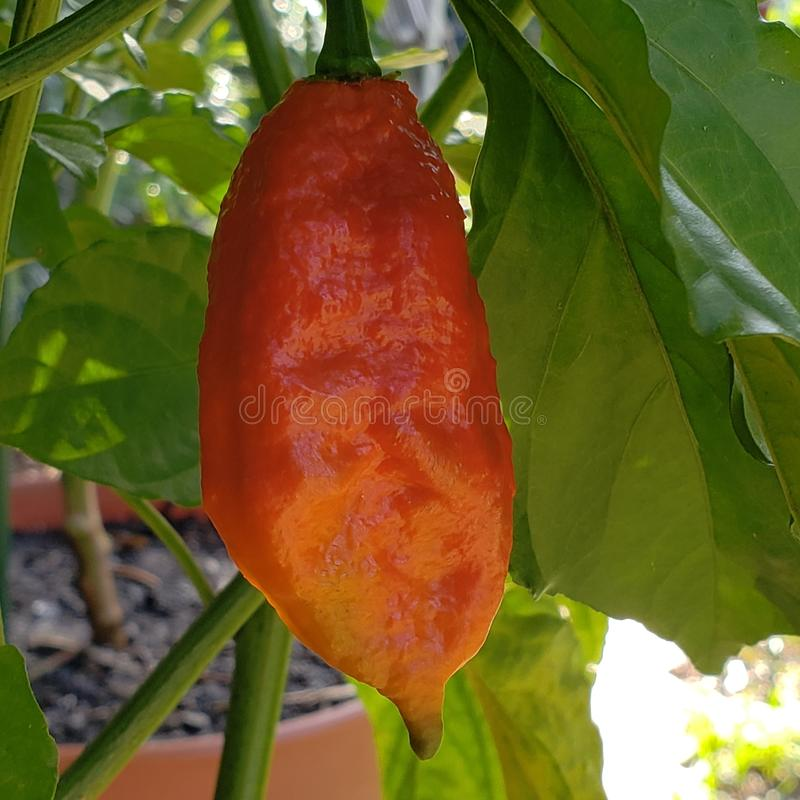 Ghost Pepper. Ripe ghost pepper this pepper is very hot stock photography