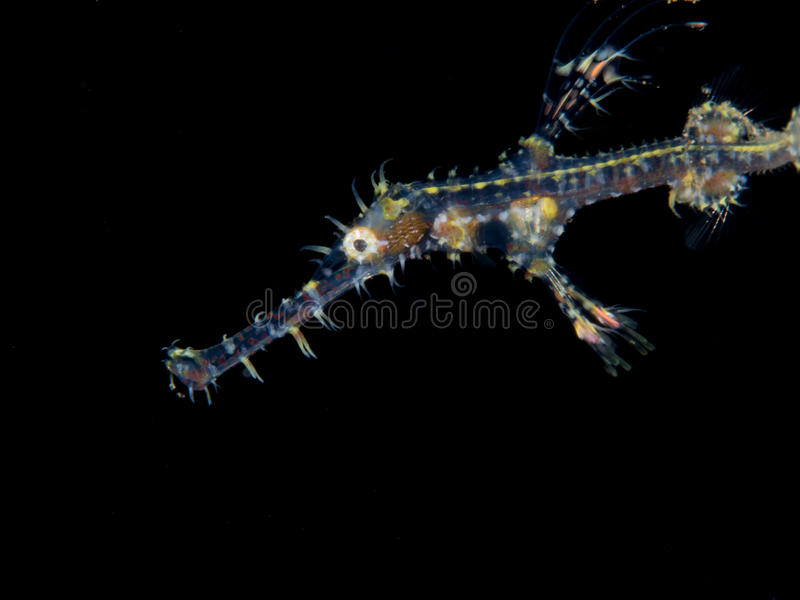 Ghost pipefish royalty free stock photography