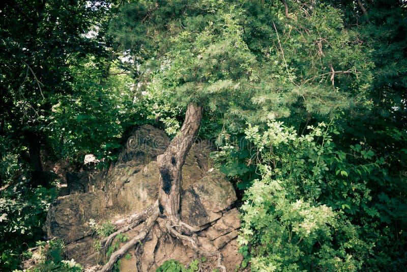 Ghost tree in nature. Big ghost tree in nature in summer stock photo