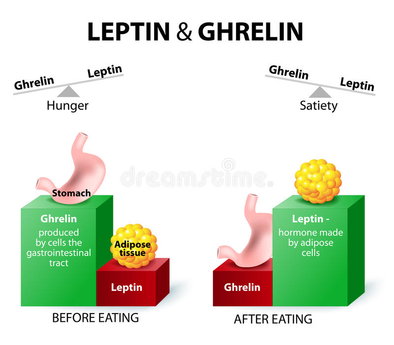 Ghrelin en leptin royalty-vrije illustratie