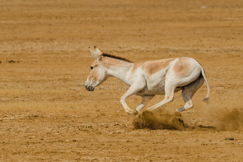 Ghudkhur indiano do burro selvagem imagem de stock royalty free