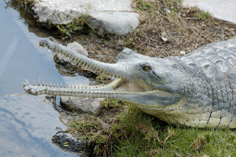 giń krokodyl otwarte zdjęcie stock