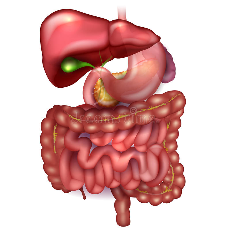 GI tract. Gastrointestinal tract, liver, stomach and other surrounding organs, detailed colorful drawing on a white background vector illustration