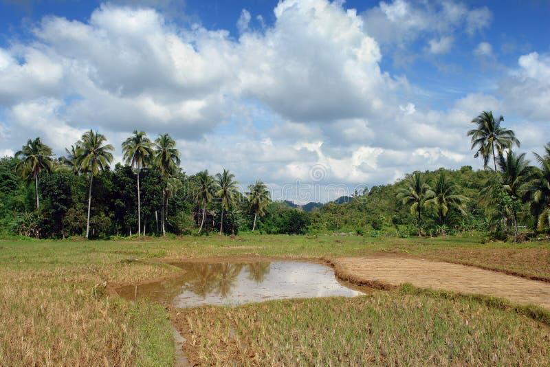 Giacimenti del riso con la giungla immagini stock libere da diritti