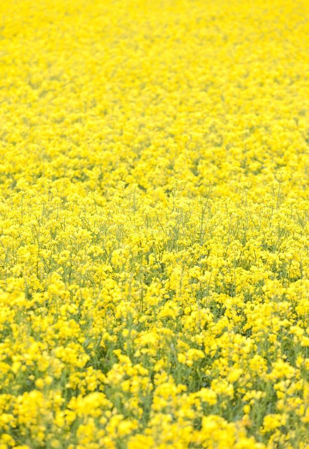 Giacimenti del seme di ravizzone di paesaggio della sorgente del Bourgogne immagini stock