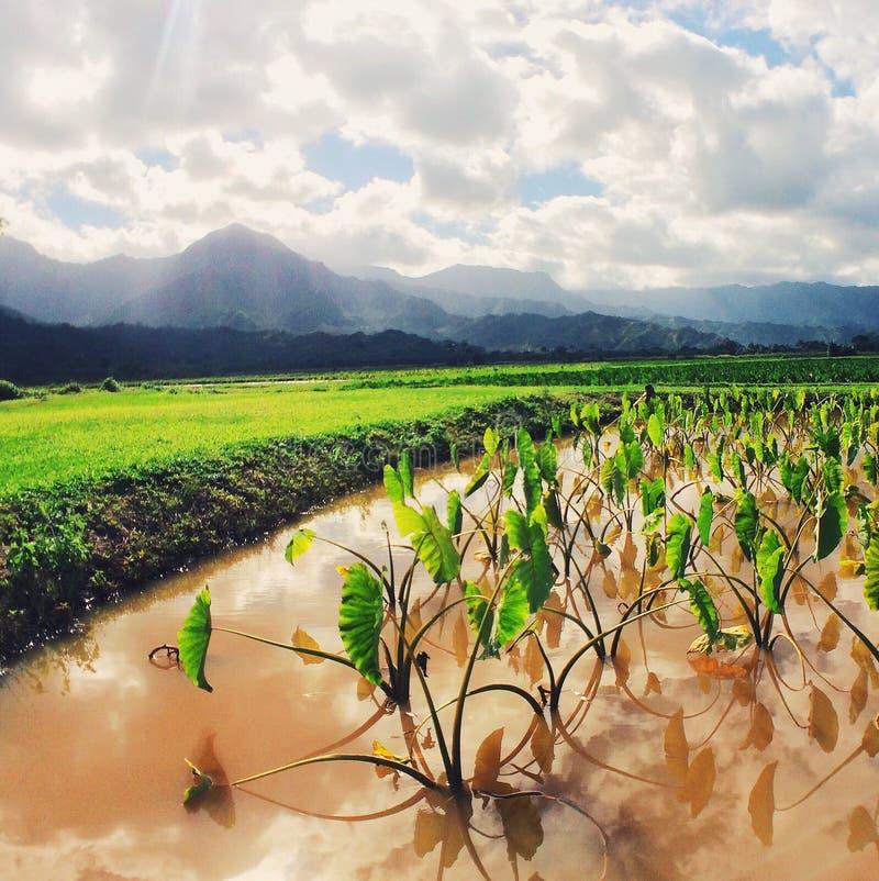 Giacimenti del taro sull'isola di Kauai immagine stock