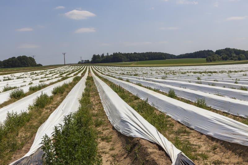 Giacimenti dell'asparago durante il raccolto in Germania fotografie stock