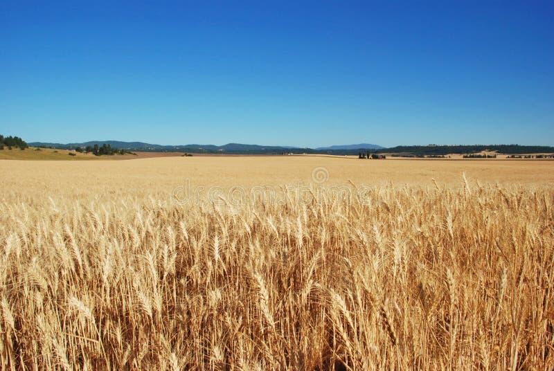 Giacimenti di grano, la contea di Spokane, Washington fotografia stock