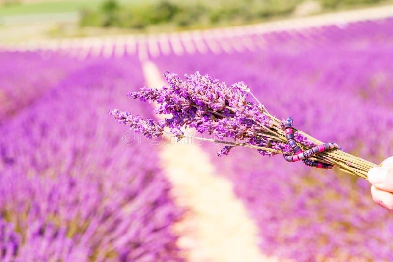 Download Giacimenti Sboccianti Della Lavanda In Provenza, Francia Fotografia Stock - Immagine di fragranza, pianta: 56893304