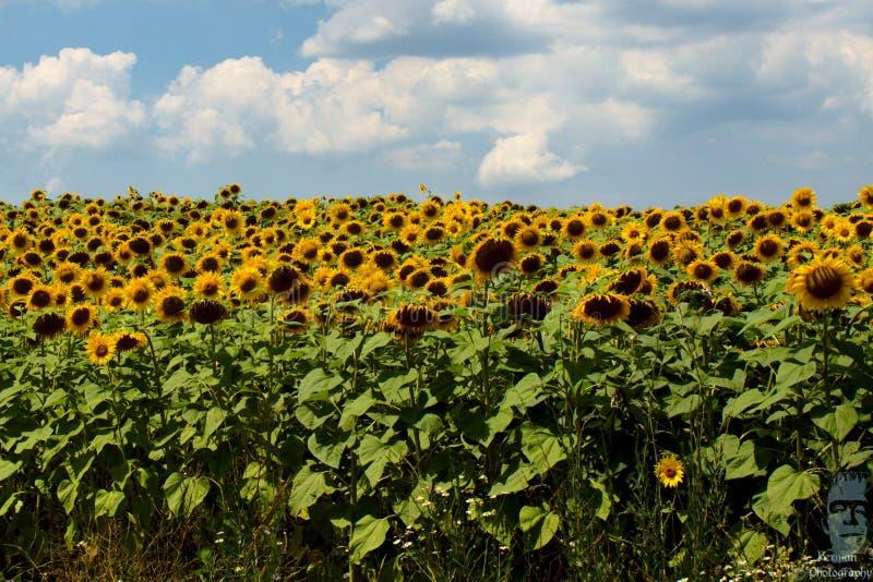 Giacimento bulgaro del girasole un giorno soleggiato immagini stock libere da diritti