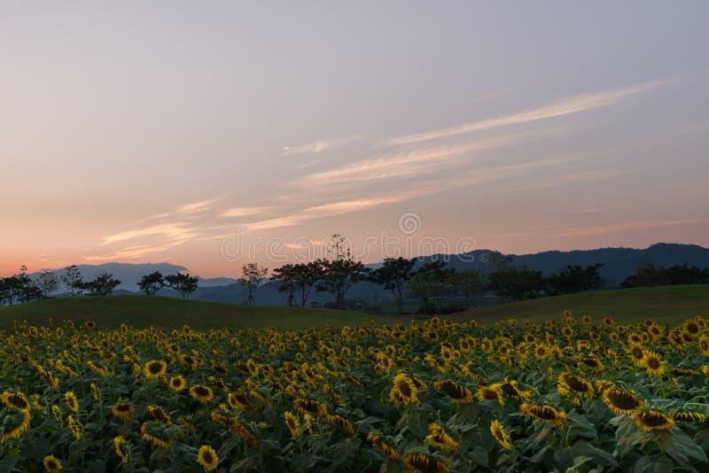 Giacimento dei girasoli prima del tramonto fotografia stock