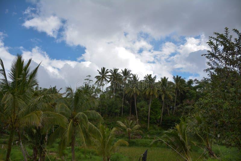 Giacimento del cocco fotografia stock libera da diritti