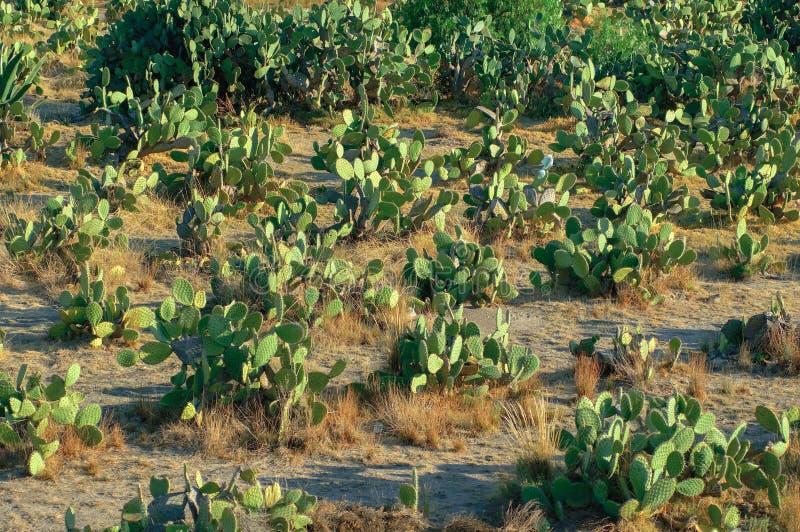Giacimento del fico d'india al deserto fotografie stock