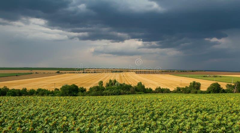 Giacimento del girasole ad alba con gli alberi ed il cielo drammatico della tempesta, sud Moravia, repubblica Ceca immagine stock libera da diritti