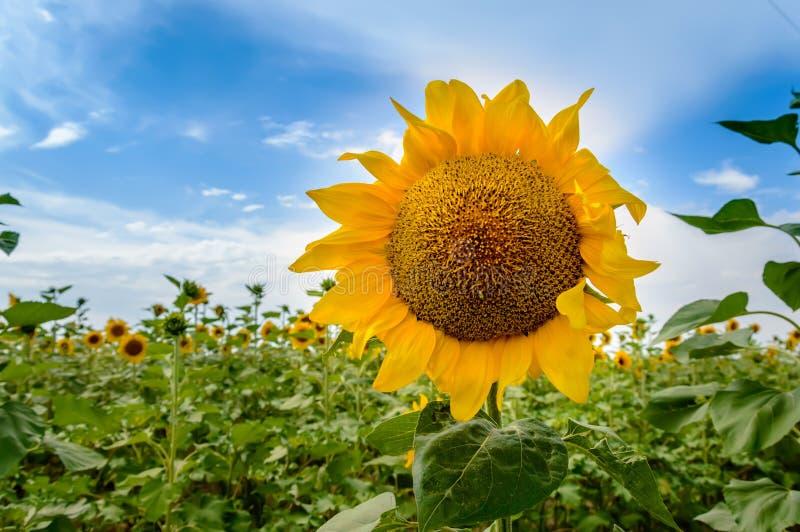 Giacimento del girasole al tramonto Primo piano del girasole giallo di fioritura contro cielo blu di estate immagini stock