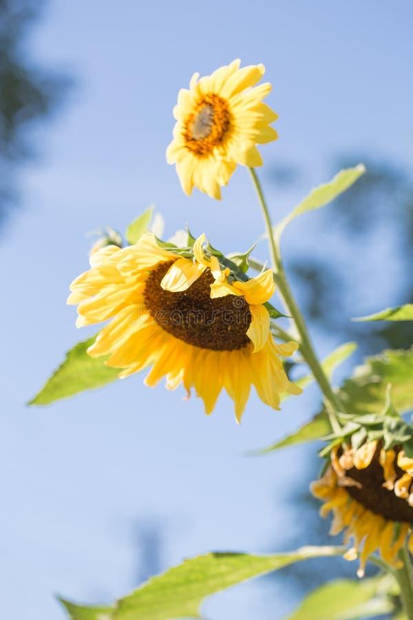 Giacimento del girasole Girasole con cielo blu e le nuvole Fondo di estate, girasole giallo luminoso sopra cielo blu Paesaggio co fotografia stock