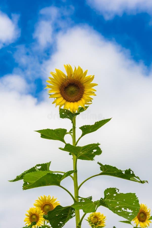 Giacimento del girasole sopra cielo blu nuvoloso immagine stock libera da diritti