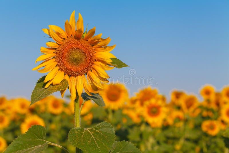 Giacimento del girasole sopra cielo blu nuvoloso e le luci luminose del sole immagine stock
