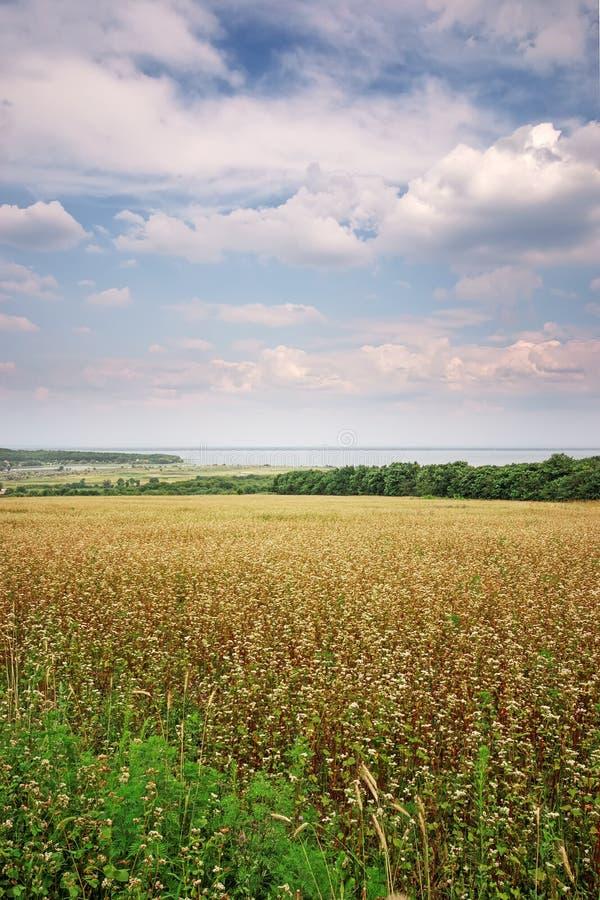 giacimento del grano saraceno fotografia stock
