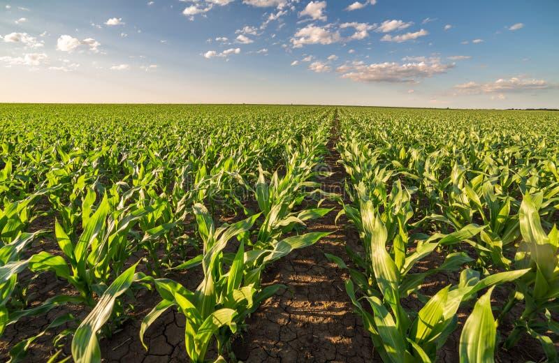 Giacimento del mais del cereale verde nella fase iniziale immagini stock