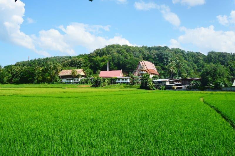 Giacimento del riso immagine stock