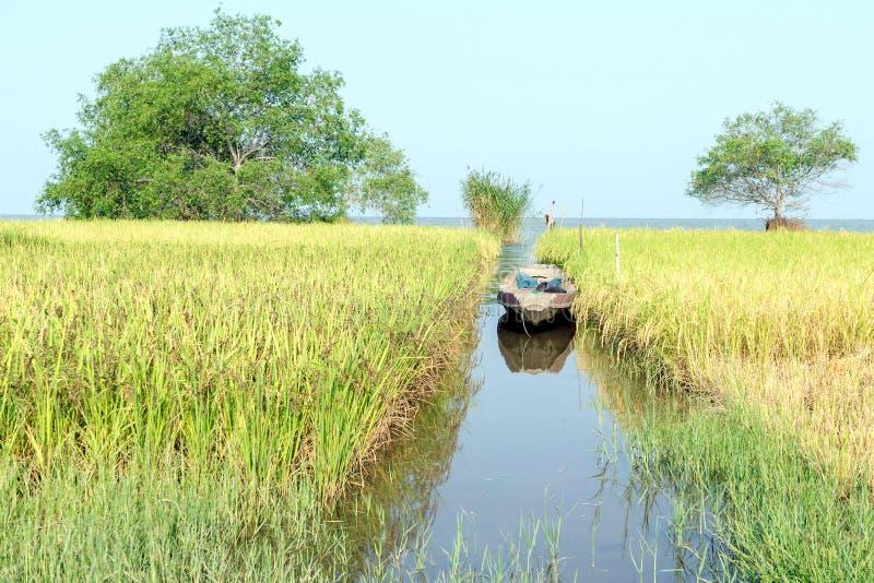 Giacimento del riso accanto al lago fotografia stock
