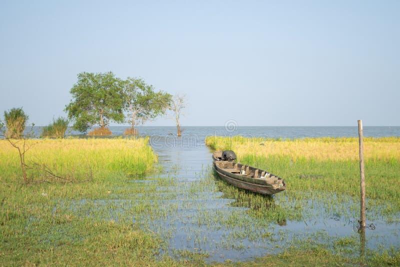 Giacimento del riso accanto al lago immagini stock libere da diritti