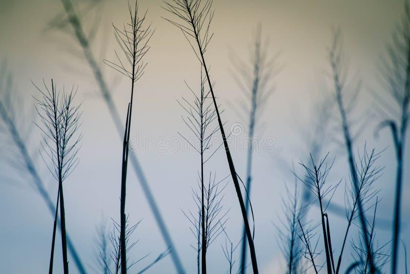 Giacimento del riso al tramonto fotografia stock