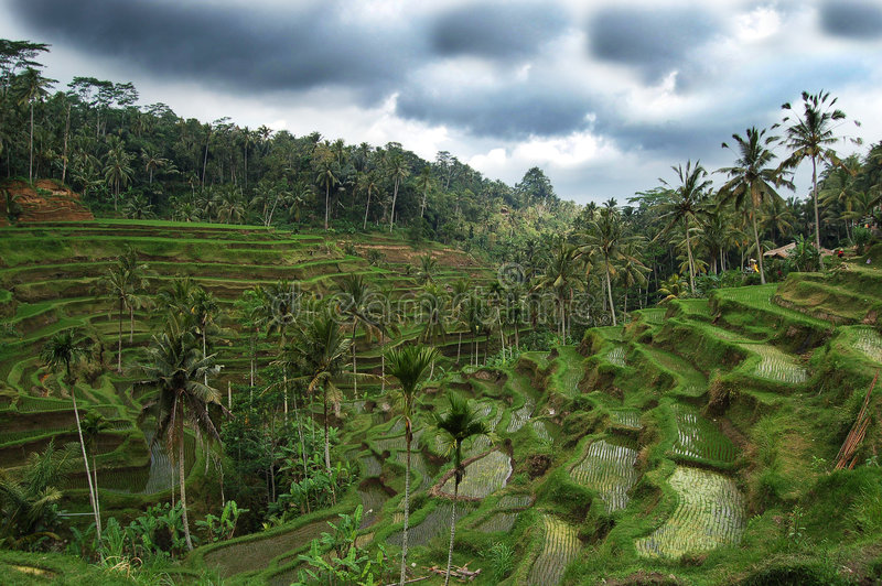 Giacimento del riso in Bali fotografie stock