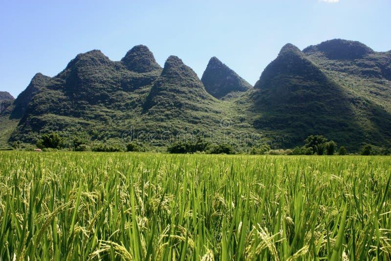Giacimento del riso in Cina immagini stock