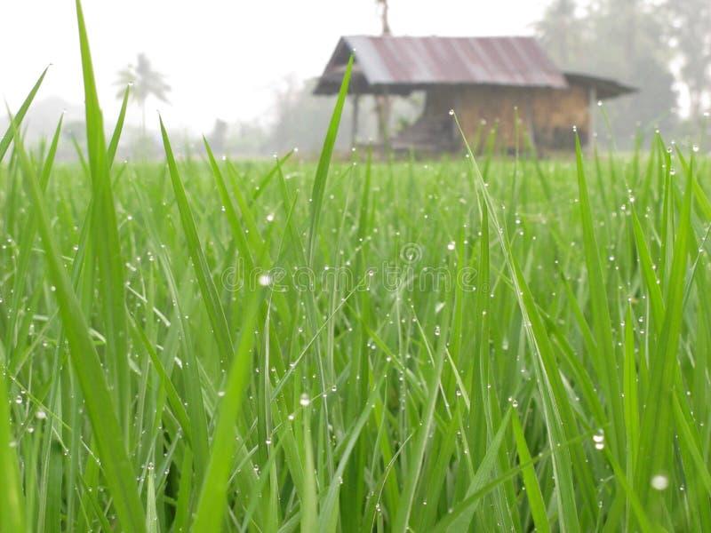 Giacimento del riso con il cottage fotografia stock