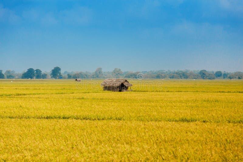 Giacimento del riso con la capanna fotografie stock libere da diritti