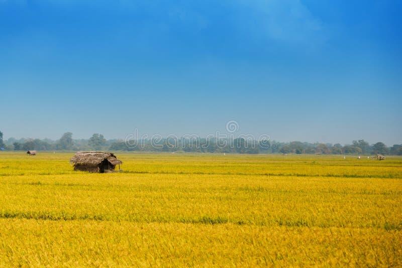 Giacimento del riso con la capanna fotografia stock libera da diritti
