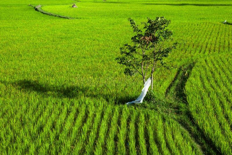 Giacimento del riso con un albero e un sentiero per pedoni fotografie stock libere da diritti