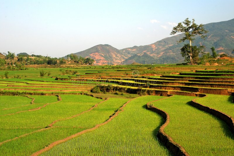 Giacimento del riso del terrazzo nel Vietnam fotografie stock