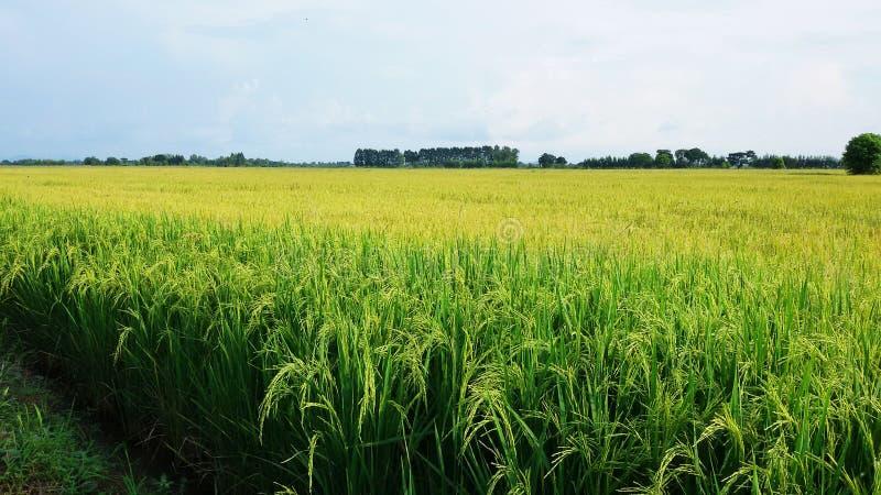 giacimento del riso dell'oro con il tono due fotografie stock