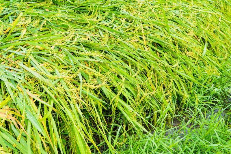 Giacimento del riso e fresco immagini stock