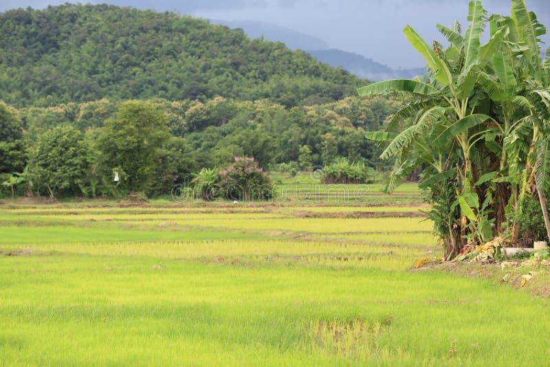 Giacimento del riso nella stagione delle pioggie fotografie stock libere da diritti