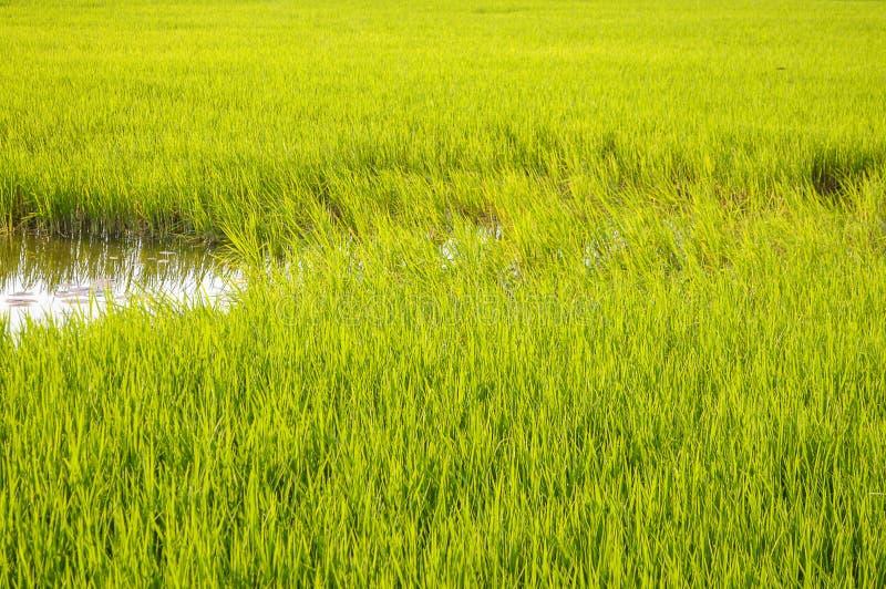Giacimento del riso in paese Tailandia fotografia stock libera da diritti