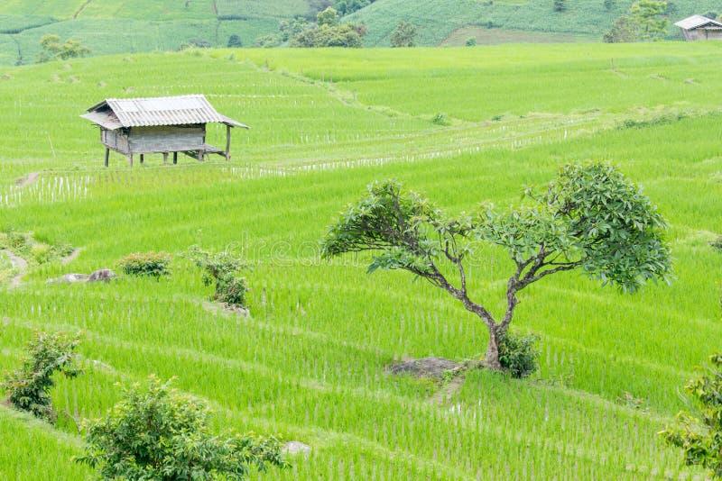 Giacimento del riso sulla collina con il cottage immagini stock