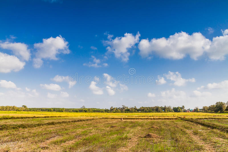Download Giacimento Del Riso In Tailandia Fotografia Stock - Immagine di asia, campo: 55362558