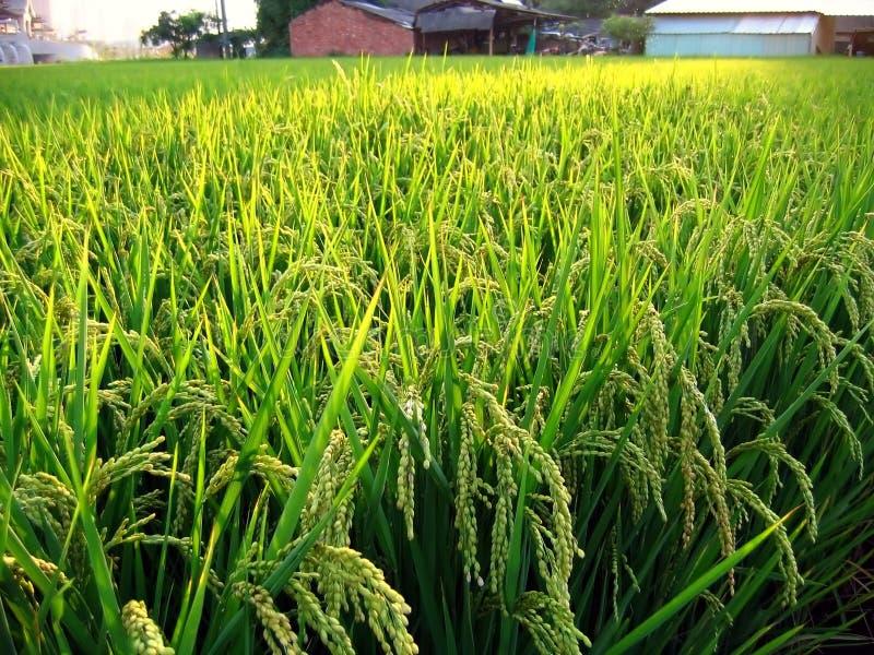 Giacimento del riso in Taiwan immagine stock
