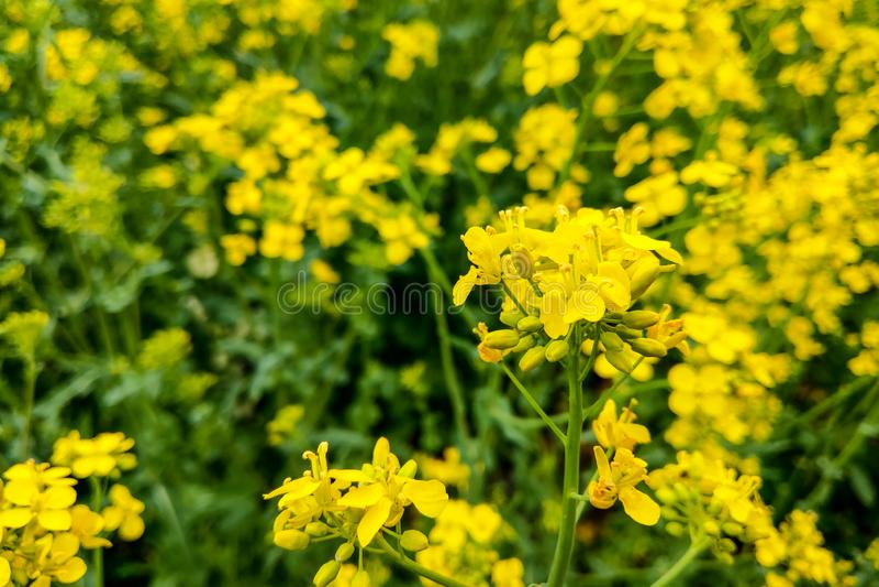 Giacimento del seme di ravizzone, fiori di fioritura del canola vicino su Olio di colza giallo luminoso fotografia stock