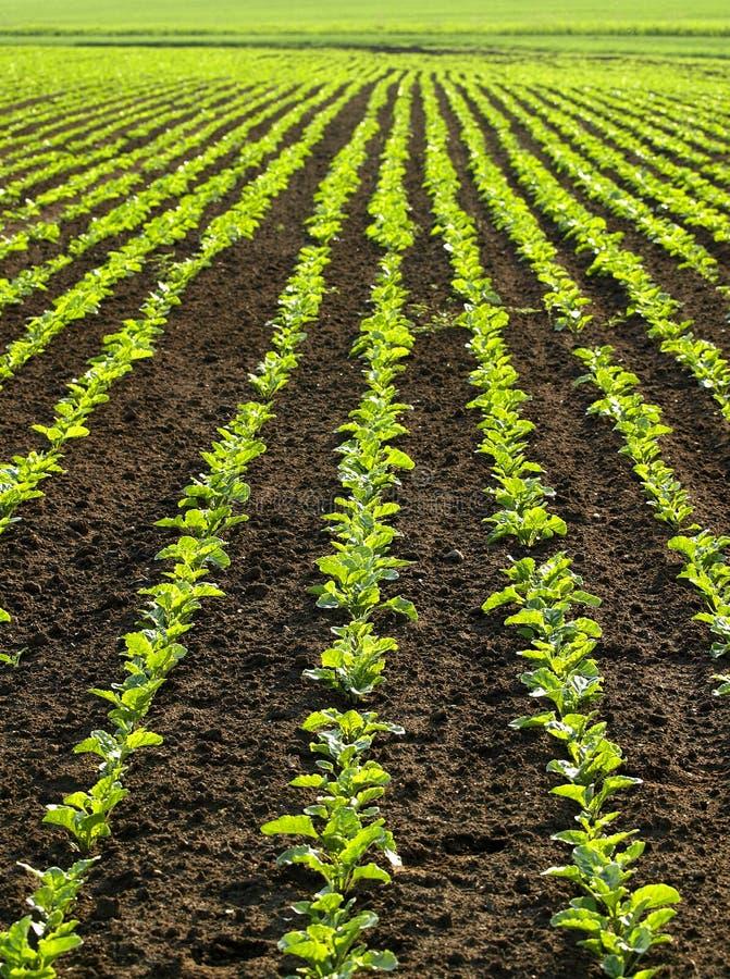 Giacimento del sugarbeet fotografia stock libera da diritti