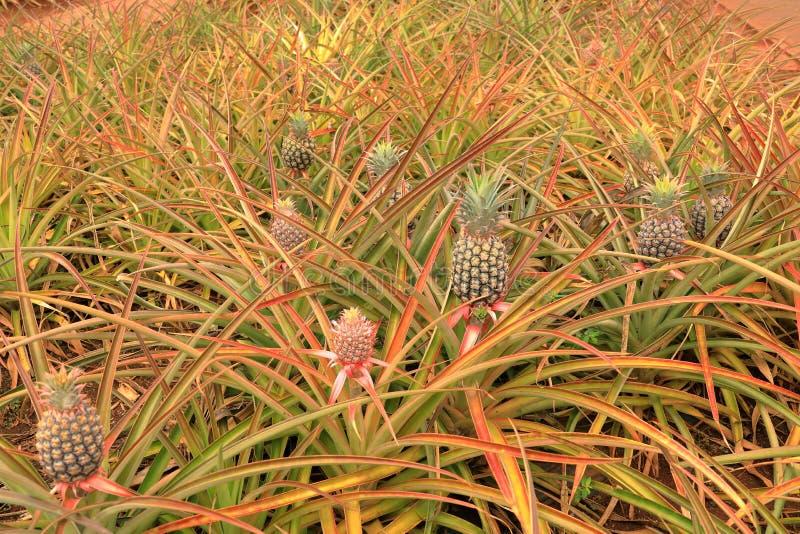 Giacimento dell'ananas in Hawai immagine stock libera da diritti
